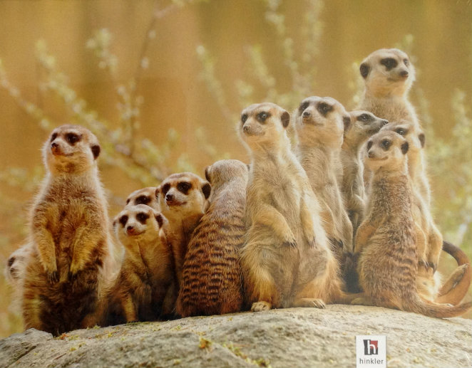 Mindbogglers Meerkat Family 1000 piece Jigsaw Puzzle